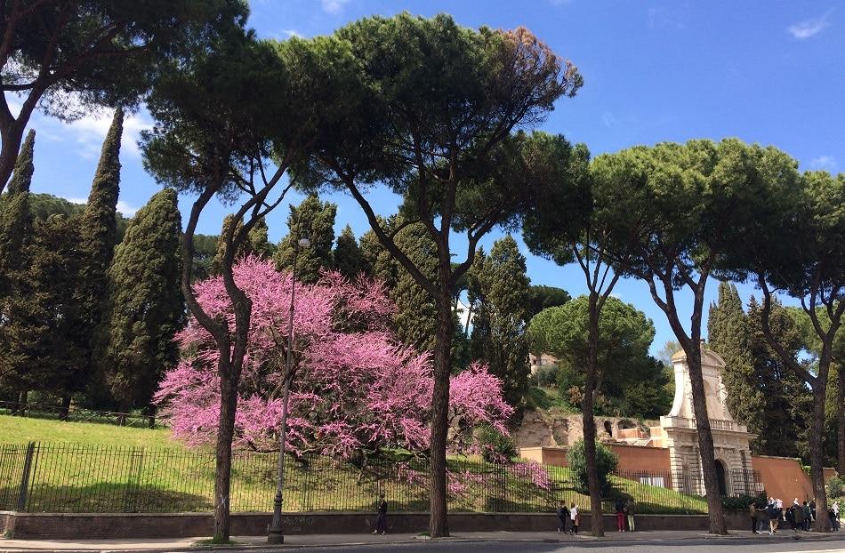 palatino cercis siliquastrum primavera roma